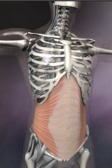 The Transversus Abdominis muscle is a very deep muscle which sits underneath the six-pack abs and the obliques. It acts like a corset, supporting the pelvis, spine and aiding balance and movement.